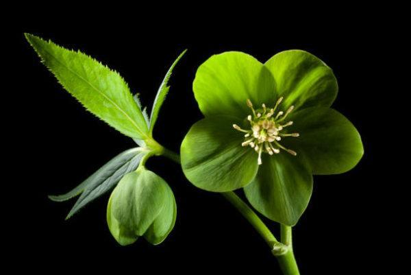 Flores de invierno Helleborus Lividus 2