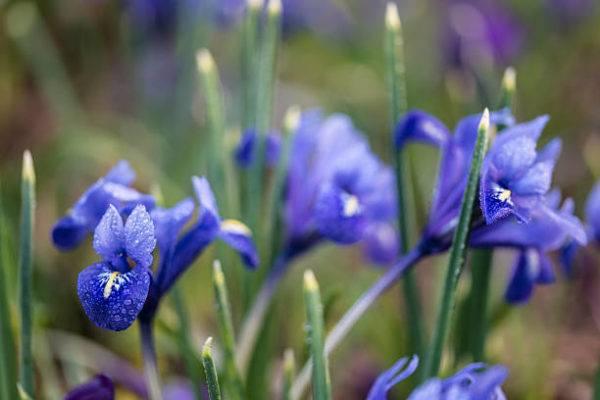 Flores de invierno Iris unguicularis 2