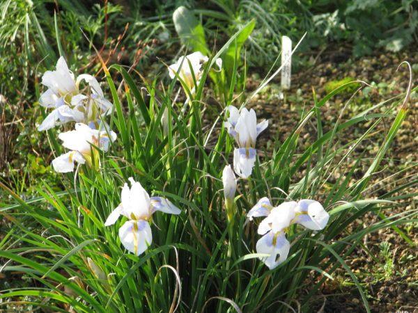 Flores de invierno Nieve peloponeso 1