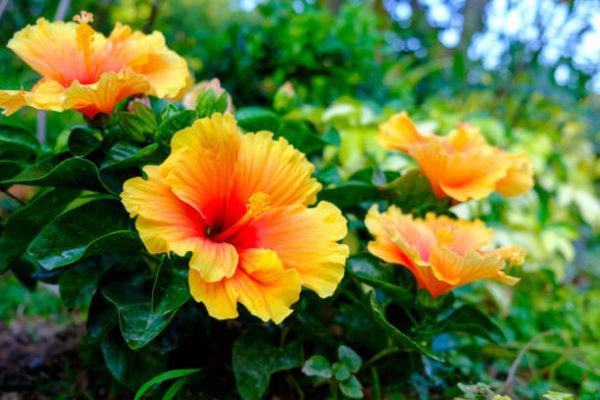 Flores de otoño hibiscus