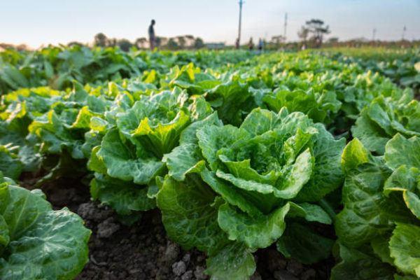 Verduras que se pueden plantar en la cosecha de otono lechuga