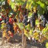 Semillas de uva, inhibirían el cáncer de colon.
