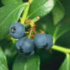 El arándano azul y sus propiedades antioxidantes