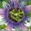 Pasiflora, para el insomnio, la ansiedad y el estrés