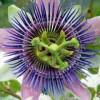 Medicina natural: Plantas antiestrés