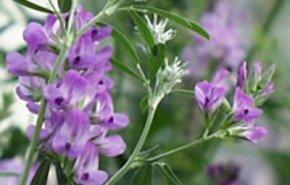 Alfalfa, mineralización imprescindible
