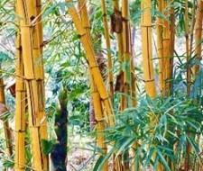 Bambú, el alimento remineralizante