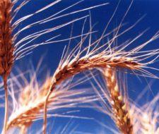 Germen de trigo, la fuente natural más rica en vitamina E