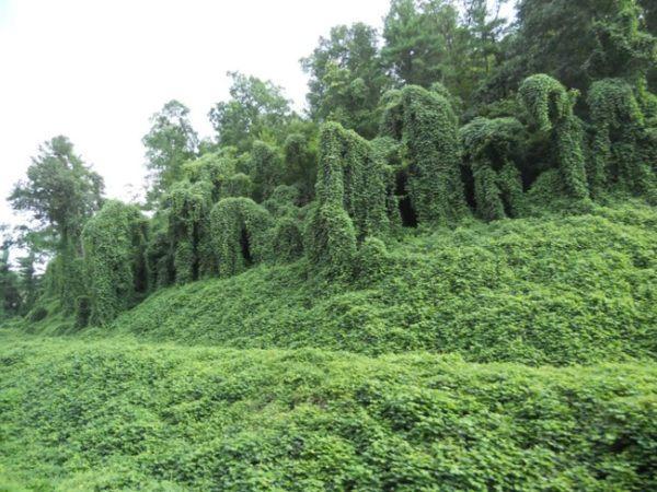 Kudzu-propiedades-y-beneficios-de-la-raíz-historia