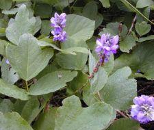 Kudzu – Propiedades y Beneficios de la raíz