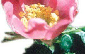 La flor de la belleza. Parte 1º