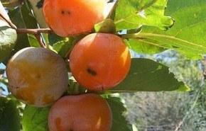 El caqui, una fruta para la buena salud. Parte 2º