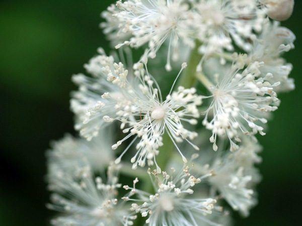 black-cohosh-propiedades-y-beneficios-de-la-planta-para-menopausia-y-cancer-de-mama