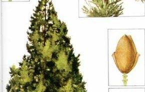 El ciprés, un árbol que beneficia nuestra salud