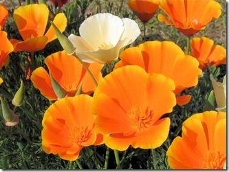 amapola-de-california