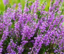 El brezo | Propiedades y beneficios para la salud