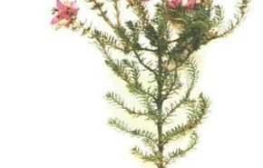 El brezo como remedio natural