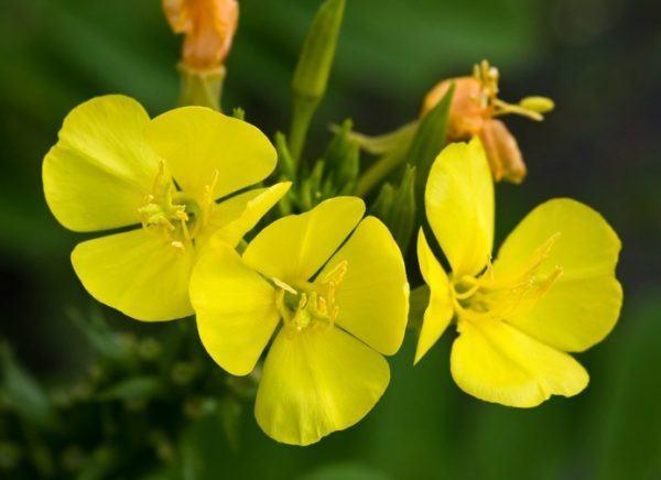 Que es el aceite de onagra flores amarillas