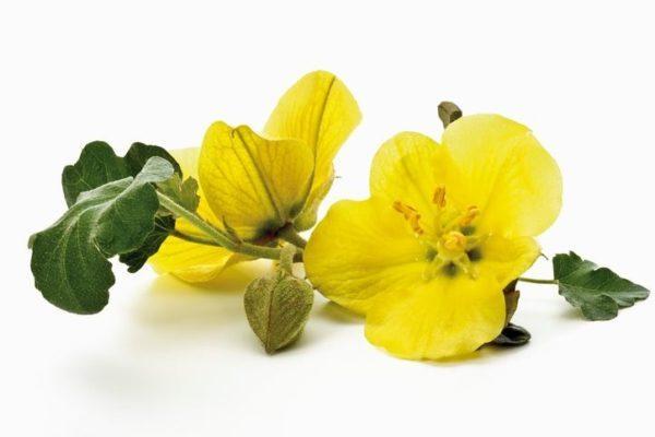 Usos del aceite de onagra para que sirve efectos secundarios