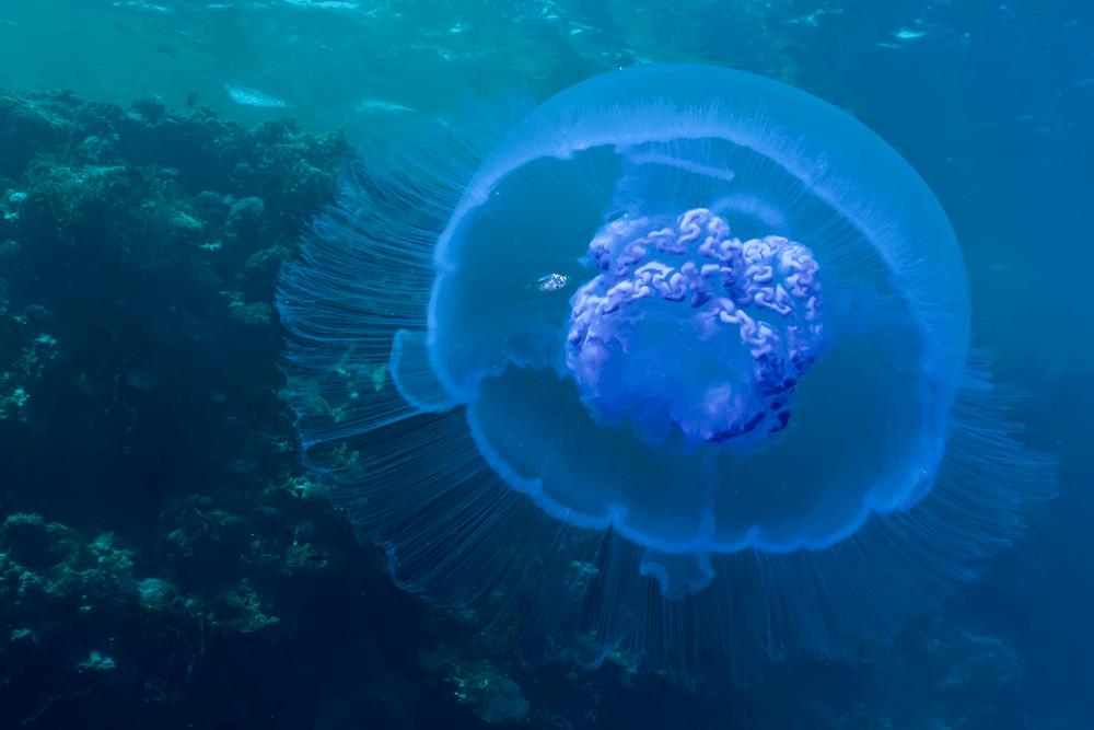que-son-las-medusas-y-como-son-sus-picaduras