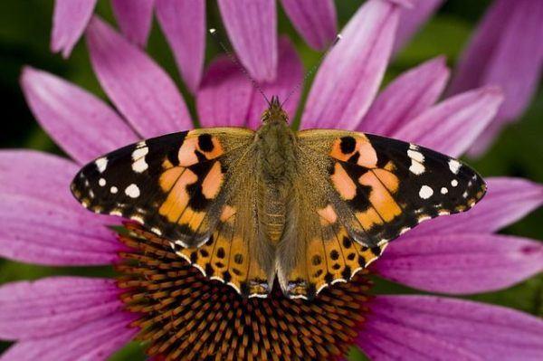 equinacea-flor-de-la-equinacea-mariposa