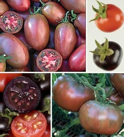 tomates modificados
