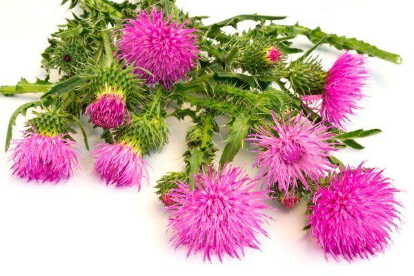 bardana-tisana-depurativa-flor