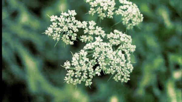 los-mejores-remedios-para-controlar-los-gases-rapidamente-anis-verde