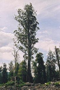 Eucalyptustree92.jpg