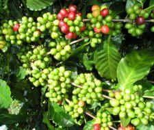 Griffonia Simplicifolia – propiedades, beneficios y usos