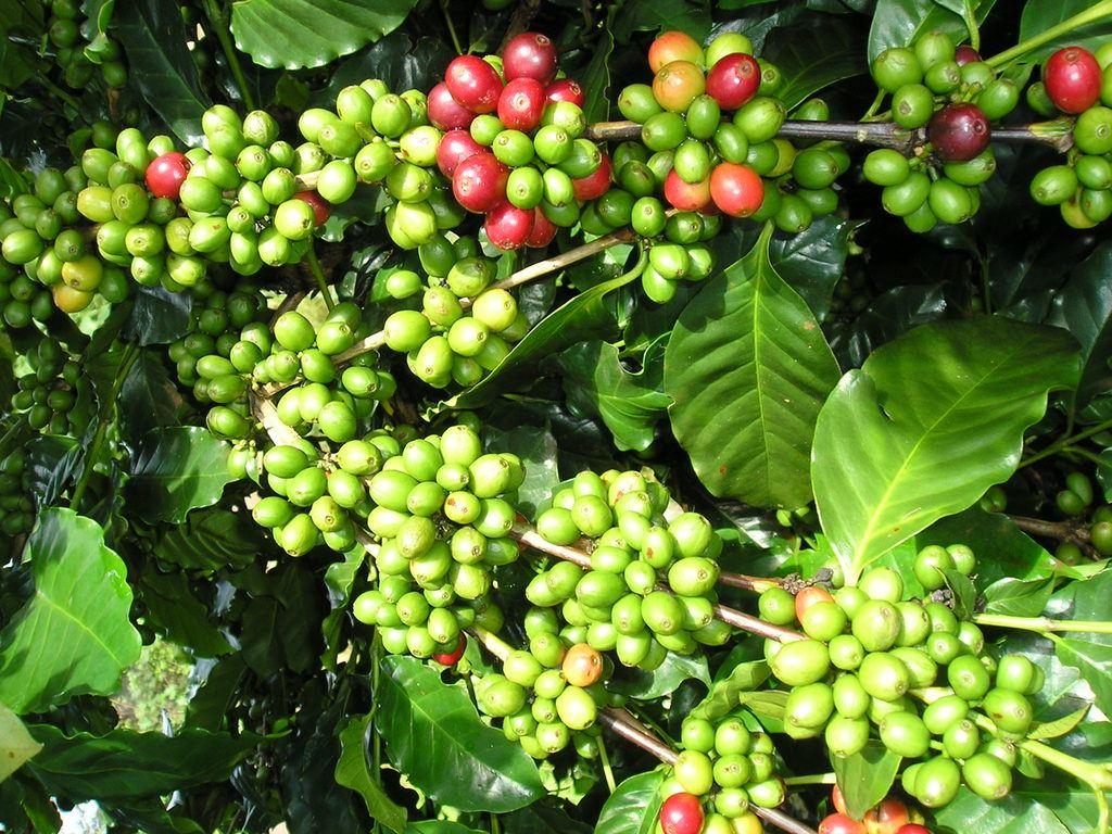 griffonia-simplicifolia-propiedades-beneficios-y-usos-planta-al-natural