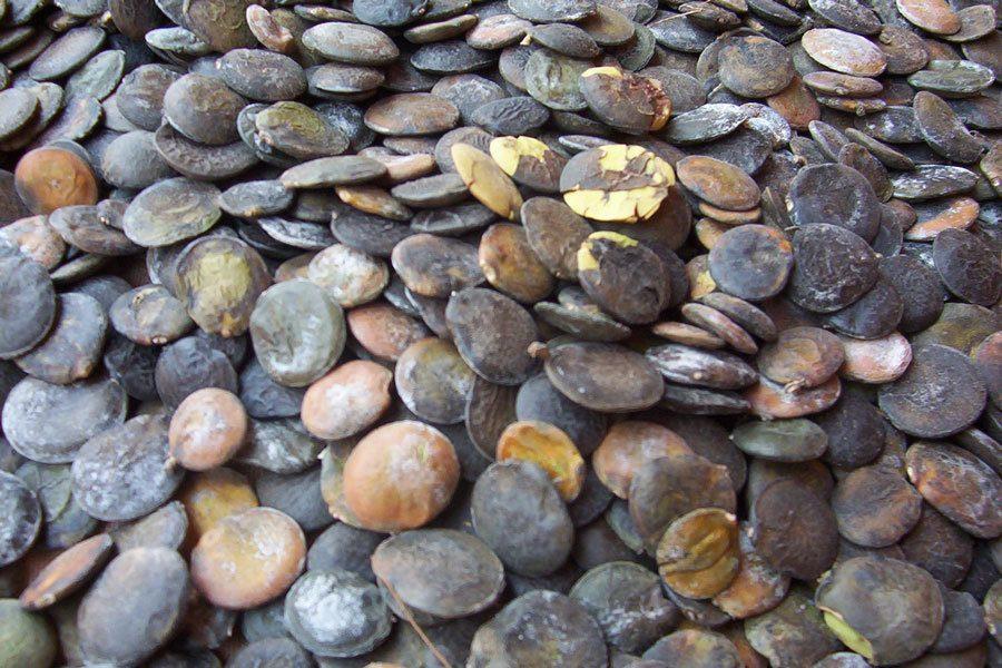 griffonia-simplicifolia-propiedades-beneficios-y-usos-semillas