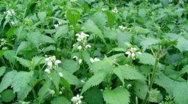 Ortiga Verde: Beneficios y Propiedades