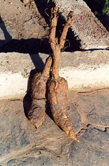 200px-Mandrake-roots