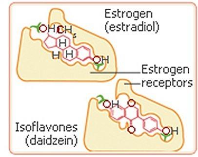 phytoestrogen-receptors