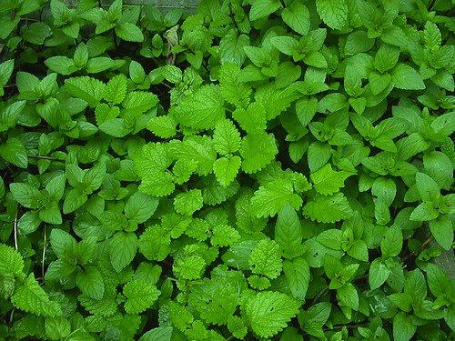 remedios-ante-varices-solucion-de-hojas