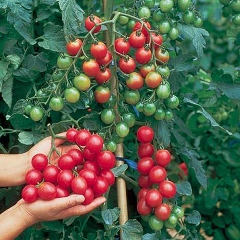 Nuevo antioxidante | en las tomateras