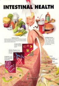 Intestinal_Health.jpg