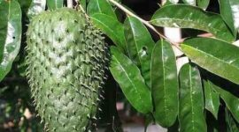 Beneficios de la hoja de guanábana: usos y propiedades