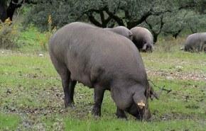 Beneficios del Cerdo
