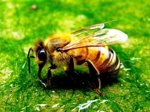 recomendaciones-para-la-picadura-de-una-abeja