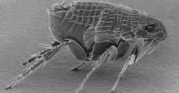 Picaduras de pulgas: Cómo reconocerlas (Síntomas) Tratamiento y remedios caseros