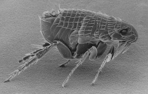 Picaduras de pulgas, remedios caseros