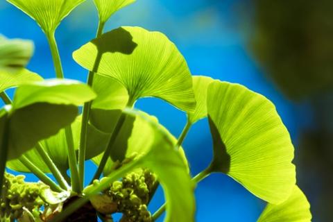 ginkgo-biloba-hojas
