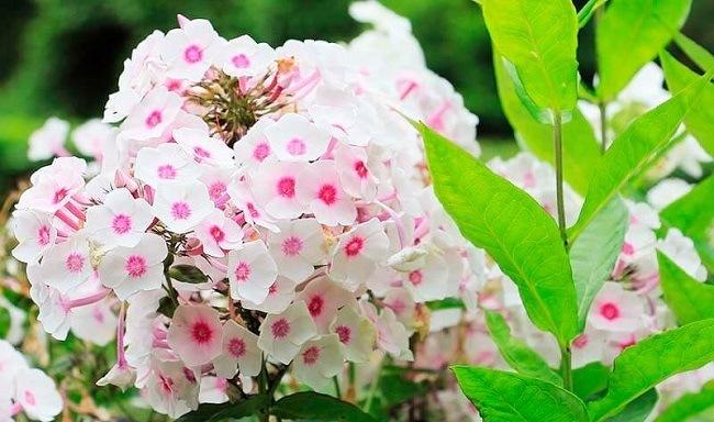 medicina-natural-plantas-antiestres-valeriana
