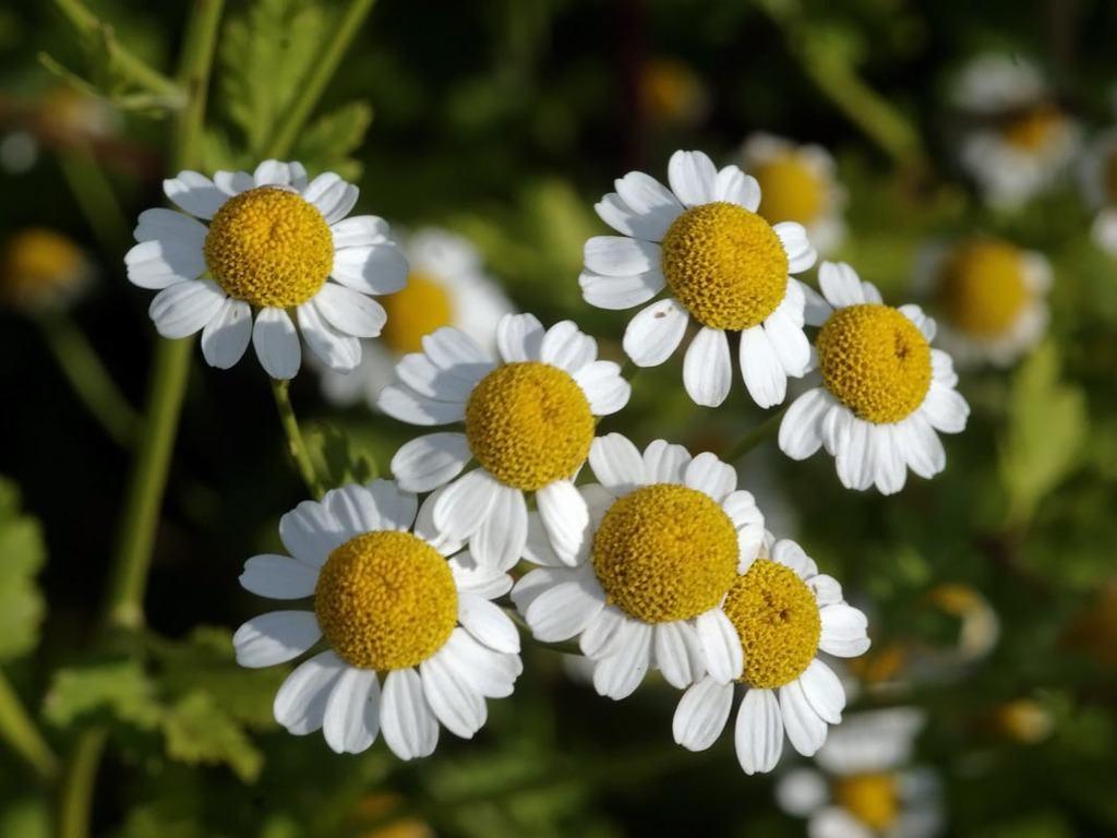 las-mejores-plantas-medicinales-que-puedes-cultivar-en-casa-manzanilla