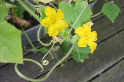 beneficios-del-pepino-para-la-salud-flor