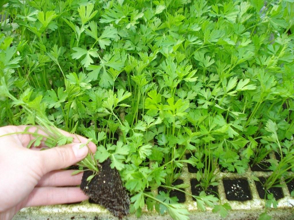 perejil-propiedades-y-beneficios-para-la-salud-cultivo