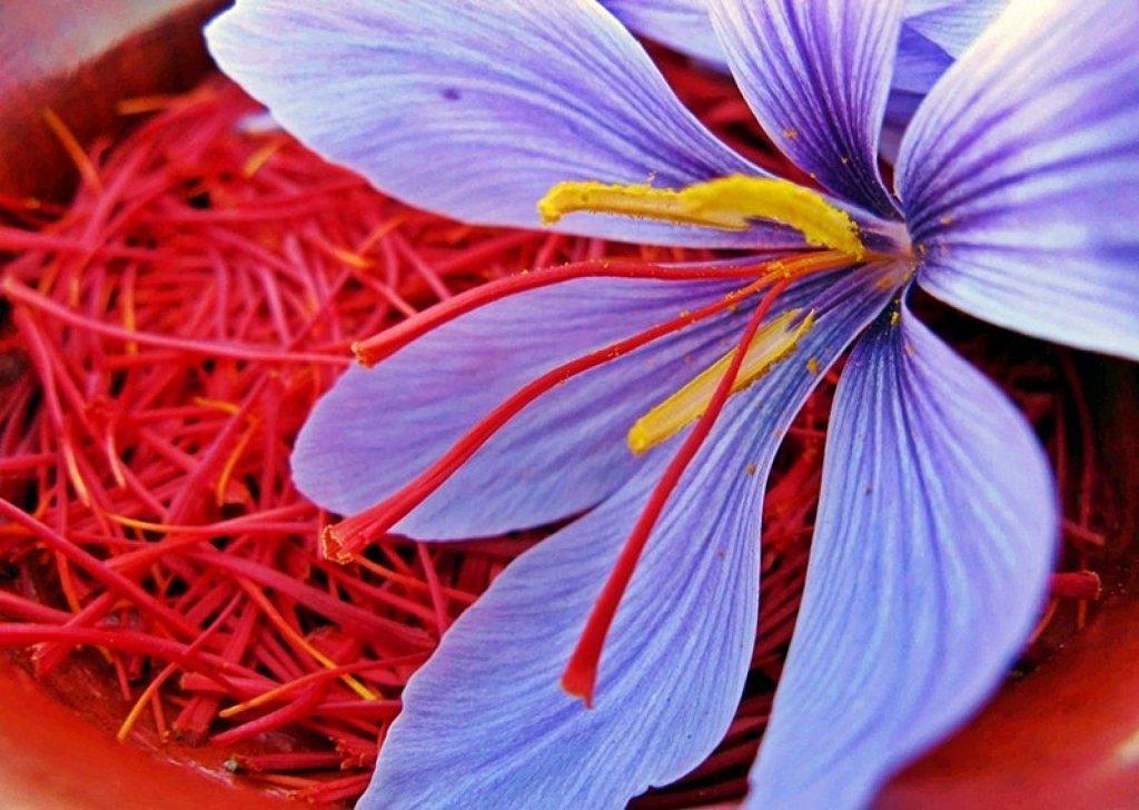 azafran-propiedades-y-beneficios-flor-de-azafran