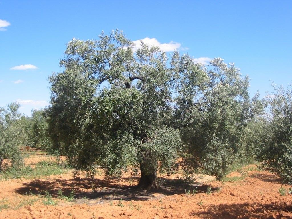 Hoja-de-Olivo-Propiedades-y-beneficios-olivo